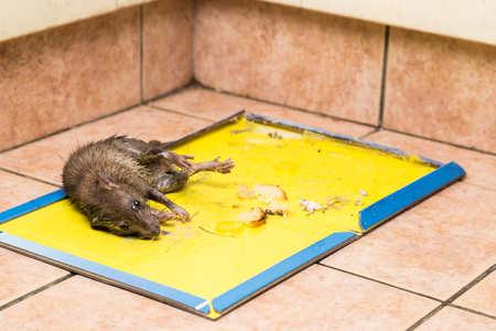 entrap: Dirty rat captured on effective and convenient disposable non-toxic glue trap board with bait set on kitchen floor Stock Photo