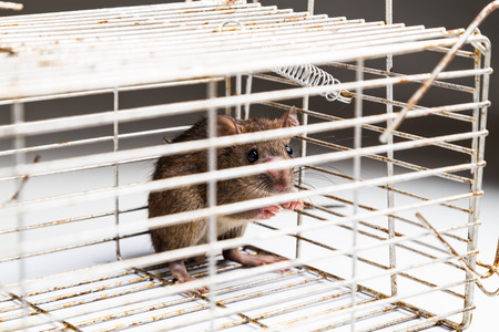 rat: Close up of anxious rat trapped and caught in metal cage