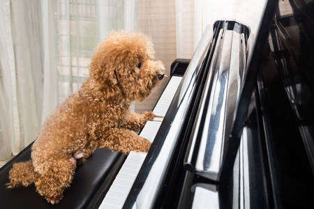 key: Concept of cute poodle dog seated while playing upright grand piano at home Stock Photo