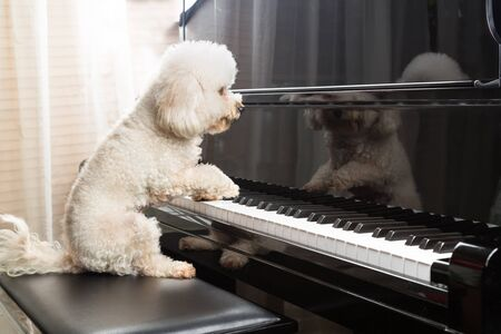 Concept of cute poodle dog seated while playing upright grand piano at home Banque d'images