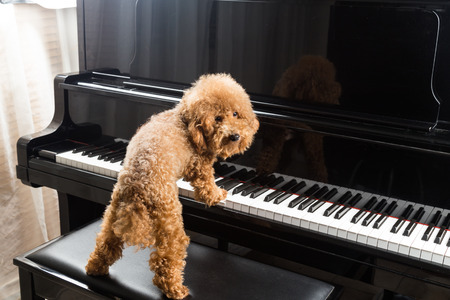 Concept of cute poodle dog prepared to play upright grand piano at home