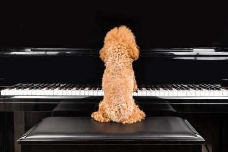 playing instrument: Concept of cute poodle dog seated while playing upright grand piano at home Stock Photo
