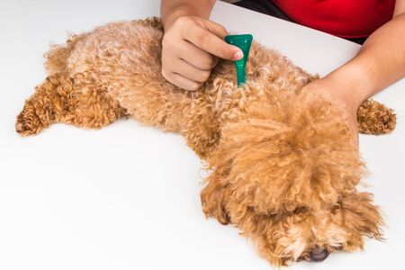 dispense: Vet applying ticks, lice and mites control medicine on poodle dog with long fur