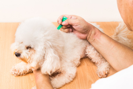 Vet applying ticks, lice and mites control medicine on poodle dog with long fur
