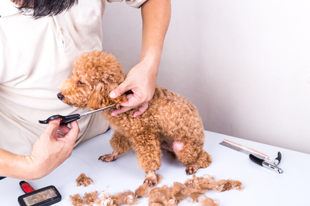 groomer: Groomer grooming brown poodle dog with scissor in salon