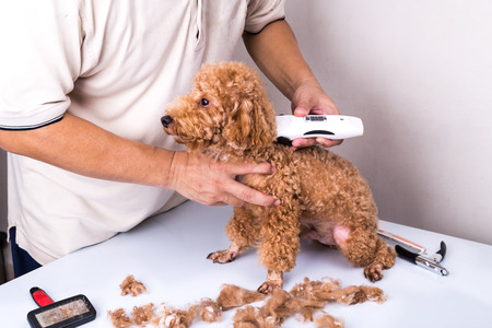 groomer: Groomer grooming brown poodle dog with trim clipper in salon Stock Photo
