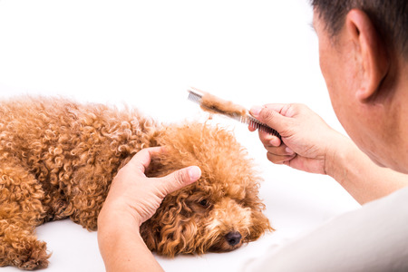 groomer: Groomer combing and brushing dog, with de-tangled fur stuck on comb Stock Photo