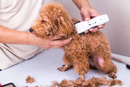 clipper: Groomer grooming brown poodle dog with trim clipper in salon Stock Photo