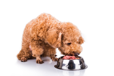 feed: Poodle dog enjoying her nutritious and delicious fresh raw meat meal