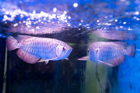 believed: Golden arowana fish is believed to bring luck among Asians. The believers keep them as pets in home and office