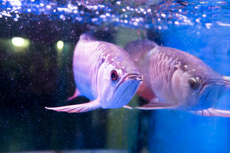 asian arowana: Golden arowana fish is believed to bring luck among Asians. The believers keep them as pets in home and office