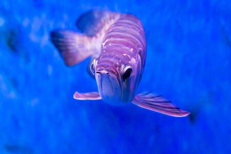 hobbyist: Golden arowana fish is believed to bring luck among Asians. The believers keep them as pets in home and office