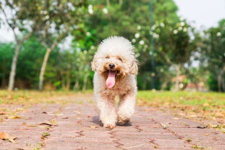 long tongue: Tired poodle dog with long tongue and heavy breathing, resting after exercise at park