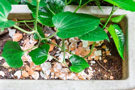 coquille d'oeuf concassée recyclé comme engrais organique naturel de jardin sur les plantes à la maison