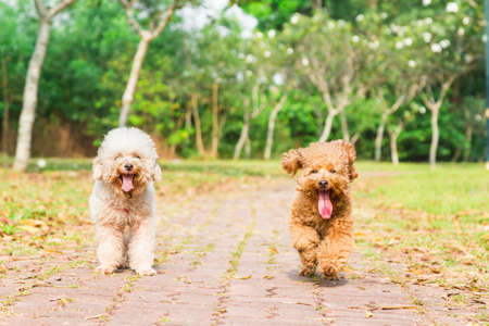 long tongue: Tired poodle dogs with long tongue and heavy breathing, resting after exercise at park Stock Photo
