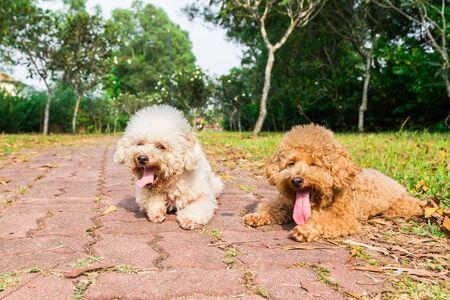 sediento: caniche Cansado perros con una larga lengua y la respiración pesada, descansando después del ejercicio en el parque
