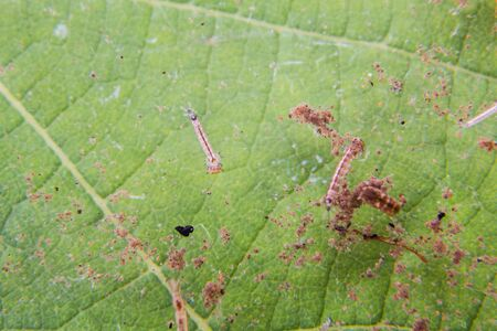 breeding ground: Closeup of mosquito larva and pupa found on potted plants with stagnant water within home