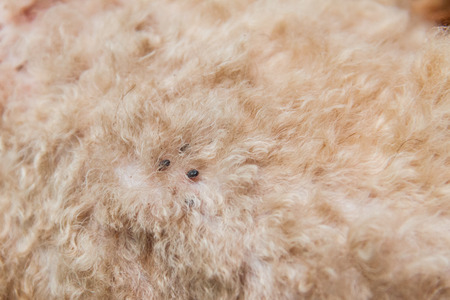 mite: Closeup of mite and fleas infected on dog fur, sucking its blood