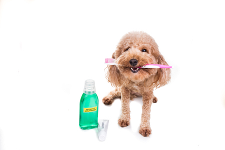 Conceptual of pet dog holding toothbrush with toothpaste and mouthwash for oral care hygiene