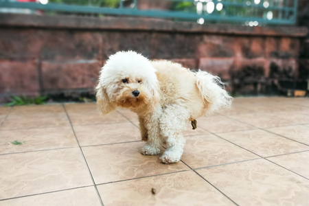 defecate: White tet poodle dog pooping within house compound