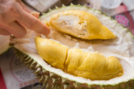 Hand picking yellow flash from husk of musang king durian variety