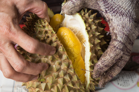 Hand force opening musang king durian fruit variety  with delicious yellow flash Фото со стока