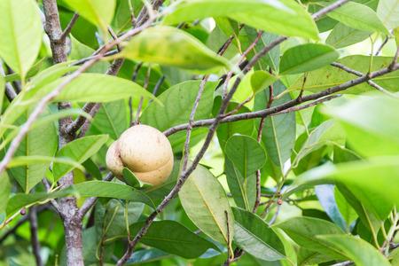 Close-up of fresh nutmeg on tree