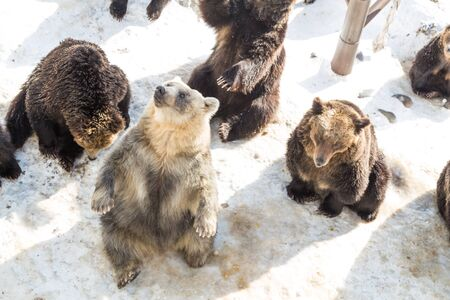 Hokkaido brown bear at Noboribetsu bear park during winter in Japan, popular tourist destination