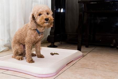 Poodle dog next to indoor training toilet tray with poop faeces Foto de archivo