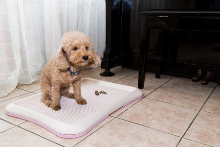 Poodle dog next to indoor training toilet tray with poop faeces Banco de Imagens