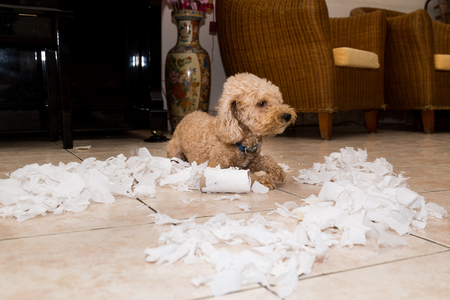 Remorseful naughty and bored dog destroyed tissue roll into pieces when home alone Banque d'images