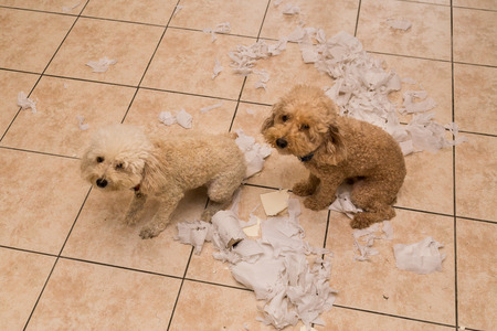 Remorseful naughty and bored dog destroyed tissue roll into pieces when home alone Foto de archivo