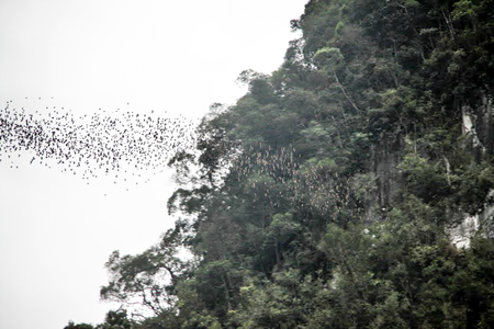 Daily exodus of bats from the Deer Cave, Mulu National Park. Bats fly out to hunt for food in the evening.
