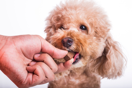 Closeup on hand feeding pet dog with chewable to protect and treat from heartworm disease, on white background