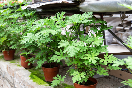 Citronella plant are natural mosquito repellent with it scented nature.  Source of essential oil.