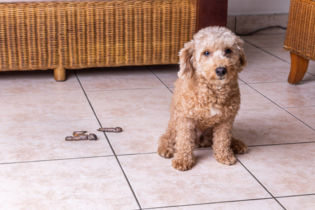 Remorseful guilty dog with poop excreted on floor at home living room