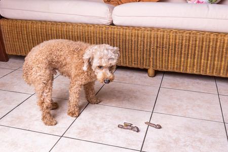 Perro culpable arrepentido con caca excretada en el piso en la sala de estar de casa