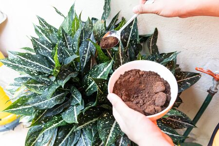 Person apply spent grounded coffee powder as natural plant fertilizer on potted plants