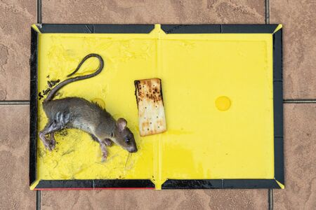 Rat mouse captured onto glue trap with biscuit as bait