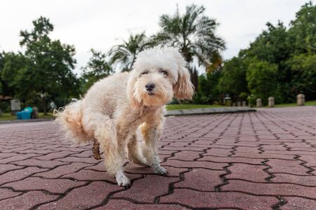 Series of white poodle pet dog pooping feces shit on road pavement