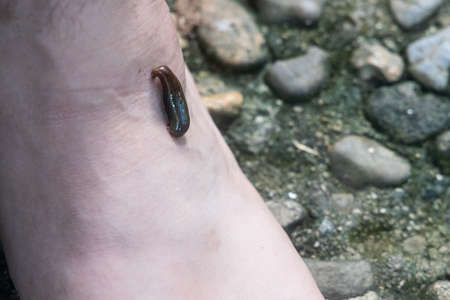 Closeup of leech attach biting on leg foot in tropical forrest