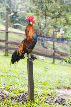 Cockerel crowing in the morning perching onto stilts pole