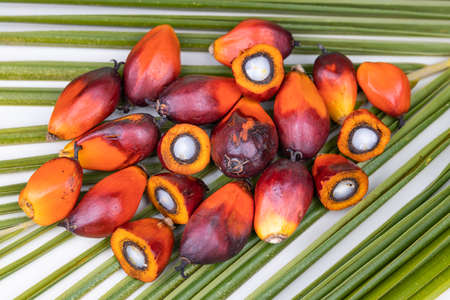 Group of freshly harvested oil palm fruits on palm leaf