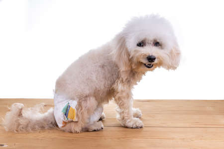Female toy poodle dog with diaper seated on wooden floor