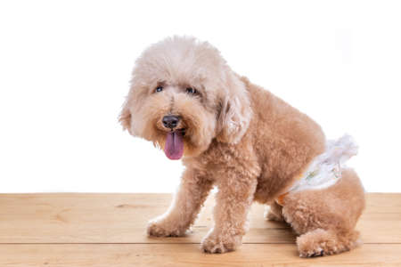 Male toy poodle dog with diaper seated on wooden floor