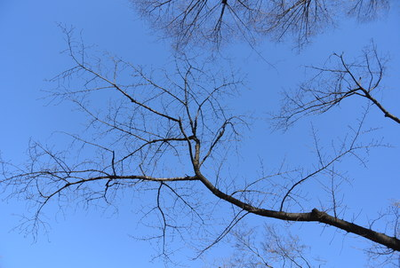 A Ginkgo tree with the clear sky, in the winter photo