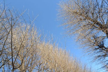 Ginkgo trees in the winter photo