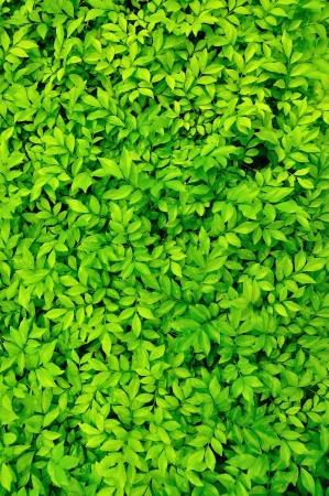 пышной листвой: Зеленые листья фон.