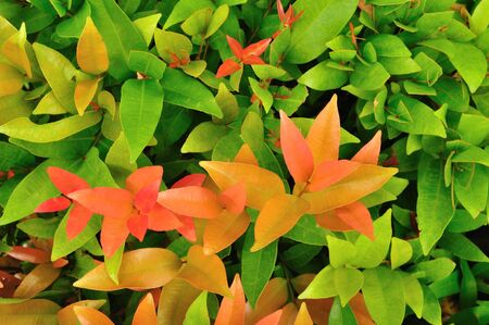Background of red and green leaves. photo
