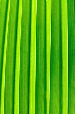 Texture of Fan palm photo